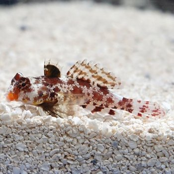 SCOOTER BLENNY RED