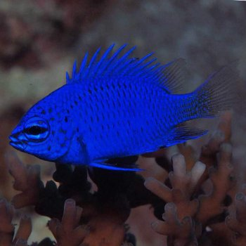 DONZELA BLUE SAPPHIRE