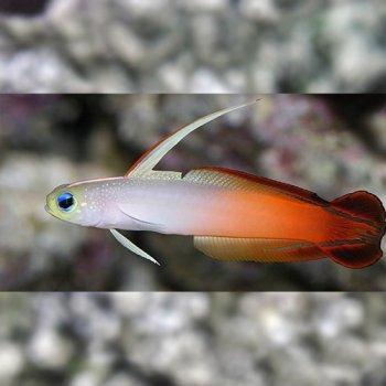 FIRE FISH MALDIVAS