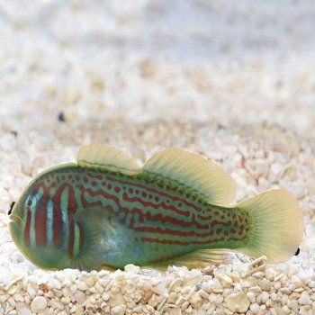 GOBY CLOW GREEN
