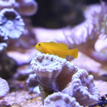 GOBY YELLOW CORAL