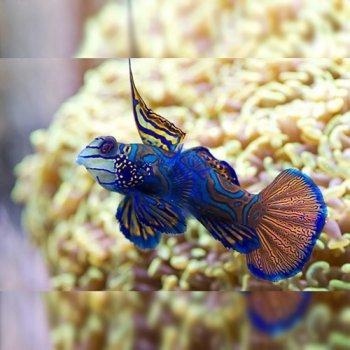 MANDARIN BLUE RED GOBY - P/M