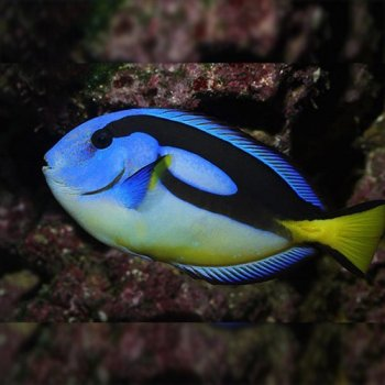 BLUE TANG YELLOW BELLY
