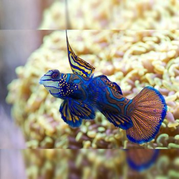 MANDARIN BLUE RED GOBY - G