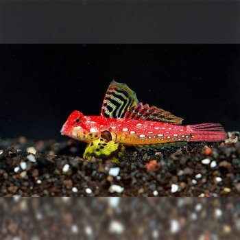 SCOOTER BLENNY RED RUBY DRAGONET