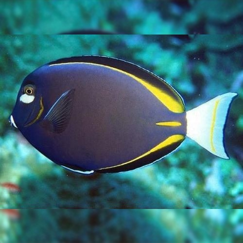 GOLD RIMMED TANG